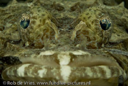 Crocodile fish in the seagrass. by Rob De Vries 
